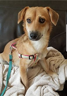 Dachshund Mix Puppy for adoption in Oakton, Virginia - Elvin