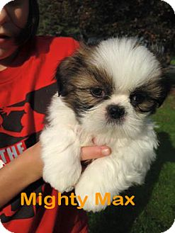 Rochester Ny Shih Tzu Meet Mighty Max Max A Pet For Adoption