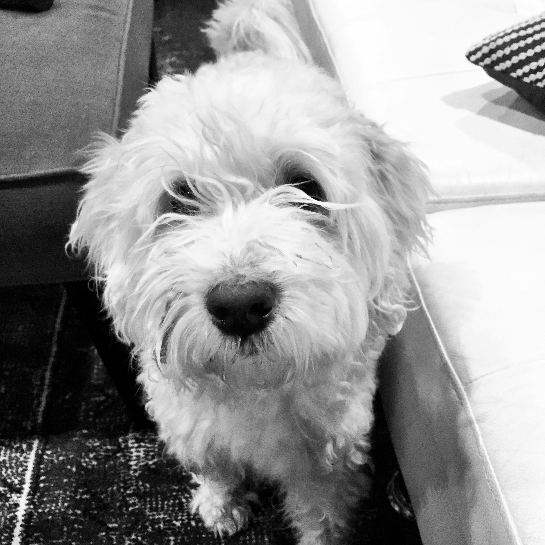 Chicago, IL - Wheaten Terrier. Meet Aspen a Dog for Adoption.
