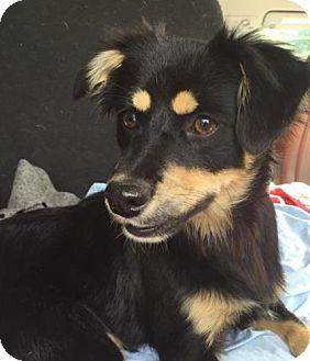 Spaniel (Unknown Type) Mix Puppy for adoption in Allentown, Pennsylvania - Cheeky