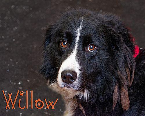 Somerset Pa Bernese Mountain Dog Meet Willow A Pet For
