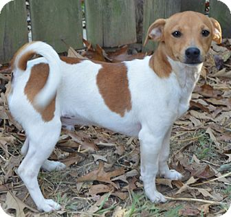 Londonderry, NH - Jack Russell Terrier. Meet Castle a Dog ...