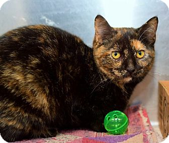 Domestic Shorthair Cat for adoption in East Brunswick, New Jersey - Angel