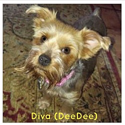 Adopted pets at United Yorkie Rescue - GA - Suwanee - Edwin Ashurst