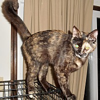 Adopt A Pet :: Darkstar - Chattanooga, TN