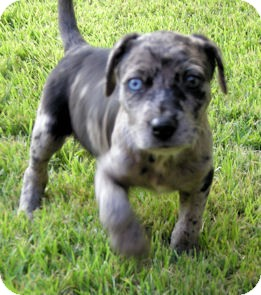 Knoxville Tn Catahoula Leopard Dog