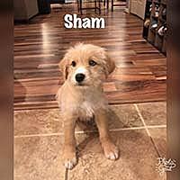 Adopt A Pet :: Fluffies Sham - Chantilly, VA