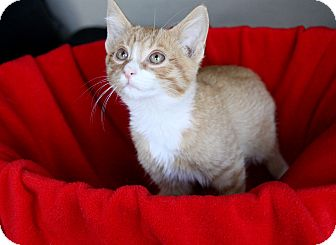Domestic Shorthair Kitten for adoption in Newport Beach, California - TOMMY