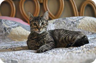 Domestic Shorthair Cat for adoption in North Vancouver, British Columbia - Sarafena