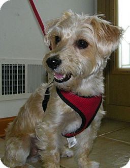 Mount Gretna Pa Yorkie Yorkshire Terrier Meet Sadie A Pet For