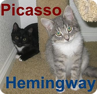 Domestic Mediumhair Kitten for adoption in Oakland, California - Picasso and Hemingway