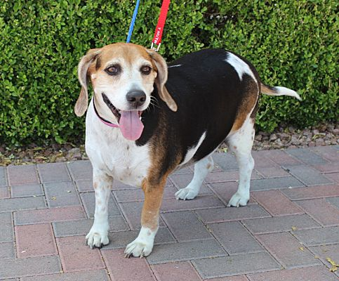 Las Vegas Nv Beagle Meet Maxy A Pet