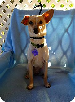 Chihuahua Mix Dog for adoption in Pittsburgh, Pennsylvania - Jello