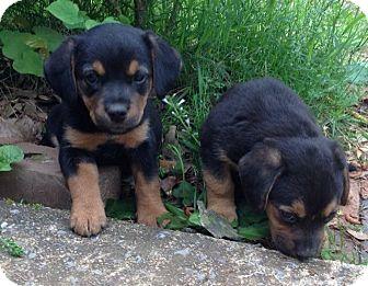 Meet Rottie Hound Mix Pups A Pet For Adoption