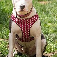 Adopt A Pet :: Shyla - Clarkston, MI