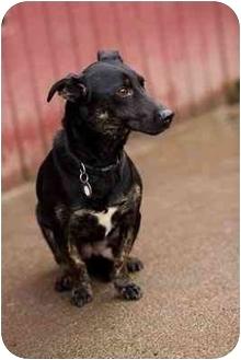 Corgi/Dachshund Mix Dog for adoption in Portland, Oregon - Dakota