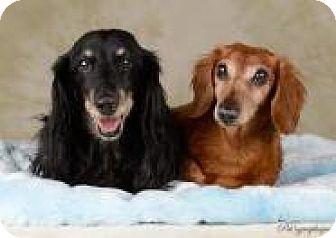 Dachshund Dog for adoption in Henderson, Nevada - Tucker