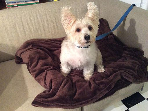 Springfield, MO - Westie, West Highland White Terrier  Meet