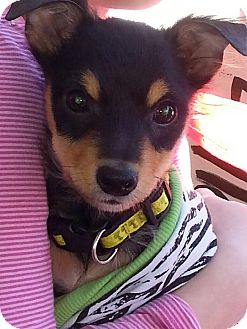 Chihuahua Mix Puppy for adoption in Pompton Lakes, New Jersey - Peanut