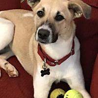 Adopt A Pet :: Lexi - ADOPTION PENDING - CONGRATS BASKAR FAMILY! - Dayton, MD