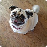 Adopt A Pet :: Summer - Pierrefonds, QC