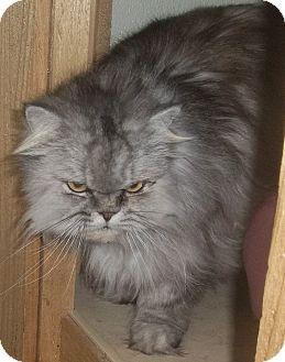 Himalayan cat for sale arkansas