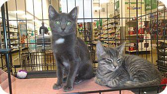 Domestic Shorthair Kitten for adoption in Edmond, Oklahoma - Kate & Allie