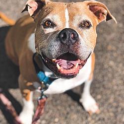 Boxer Puppies for Sale in Eugene Oregon - Adoptapet com