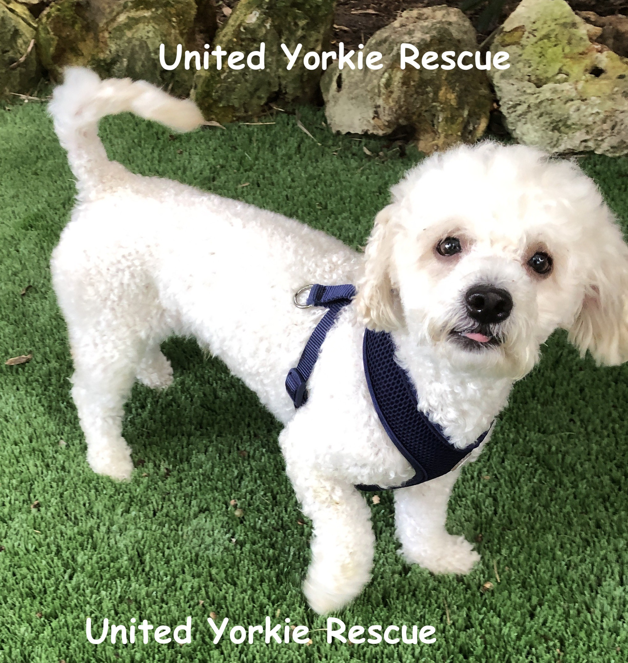 Leesburg Fl Miniature Poodle Meet Teddy Bear A Pet For Adoption