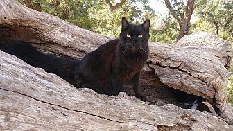 Adopt A Pet :: SugarBaby  - Fischer, TX
