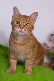 Adopt A Pet :: Chamomile  - Troy, MI