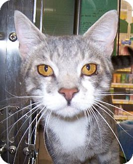 Domestic Shorthair Cat for adoption in Island Heights, New Jersey - Taz