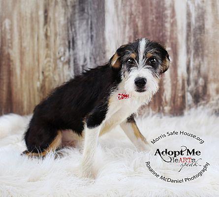 Lubbock Tx Border Collie Meet Gibbs A Pet For Adoption