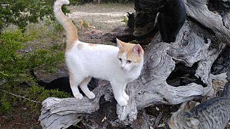 Adopt A Pet :: Spice  - Fischer, TX