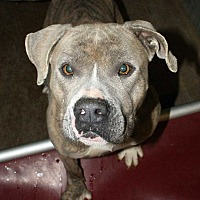 Bulldog Mix Dog for adoption in Fort Madison, Iowa - Hope