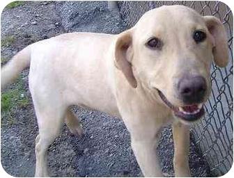 Labrador Retriever Mix Puppy for adoption in Cumming, Georgia - Luna