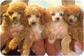 Terre Haute In Poodle Toy Or Tea Cup Meet Poodle Pups X4 A Pet For Adoption