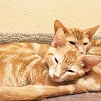Adopt A Pet :: Gambit - Chino Hills, CA