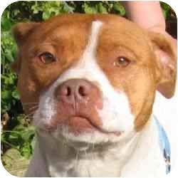American Pit Bull Terrier/Saluki Mix Dog for adoption in Berkeley, California - Buddha