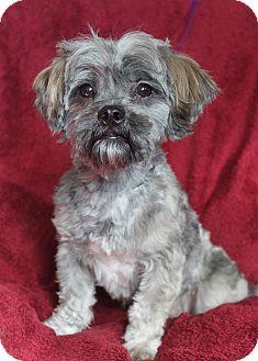 Wichita Ks Shih Tzu Meet Oscar A Pet For Adoption