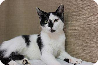 Domestic Shorthair Kitten for adoption in Midland, Michigan - Mustang Sam - $10!