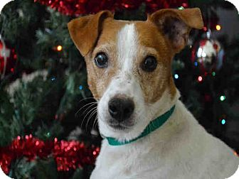 Jack Russell Terrier Mix Dog for adoption in Overland Park, Kansas - A077039 Buster