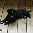 Adopt A Pet :: Brice