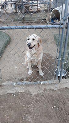Mojave Ca Golden Retriever Meet Candy A Pet For Adoption