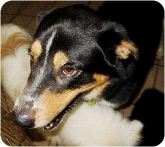 Overland Park Ks English Shepherd Meet Max A Pet For