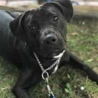 Adopt A Pet :: Raven - Vienna, VA