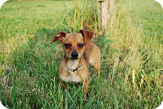 Chihuahua/Dachshund Mix Dog for adoption in Salem, New Hampshire - CHEETO