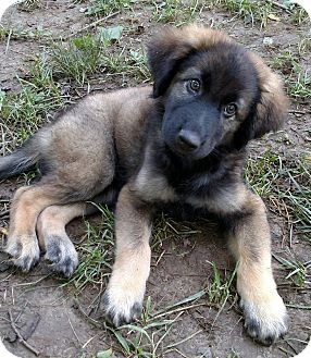 German Shepherd Dogs For Adoption
