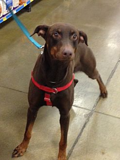 Doberman Pinscher Dog for adoption in Omaha, Nebraska - Marcus