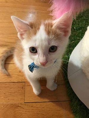 Whitehall Pa Domestic Shorthair Meet Randy A Pet For Adoption
